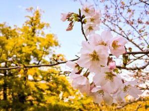 sakura-2200717_960_720