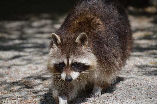 raccoon-732356_960_720